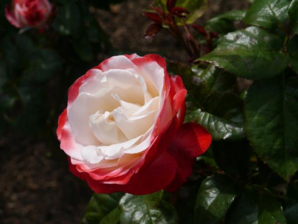 rosen arten weiß rote blüte