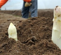 Spargel pflanzen – praktische Tipps für eine frische, ergiebige Ernte