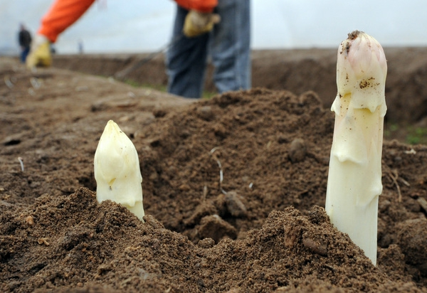 spargel pflanzen spargelernte weiß