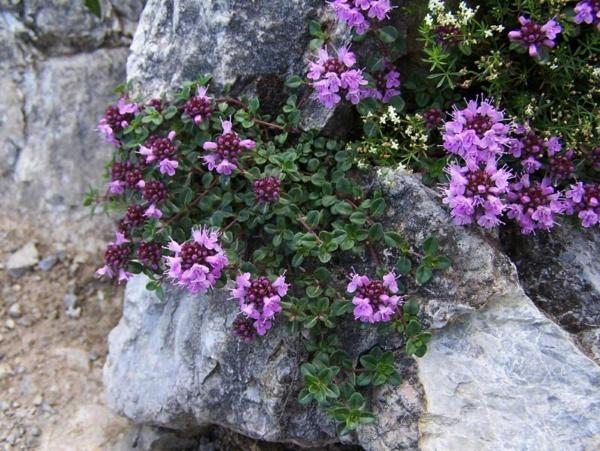 thymian pflege blühende pflanze