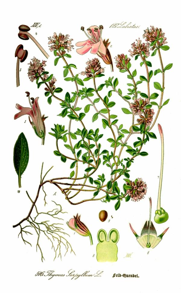 thymian pflege wirkung botanische zeichnung
