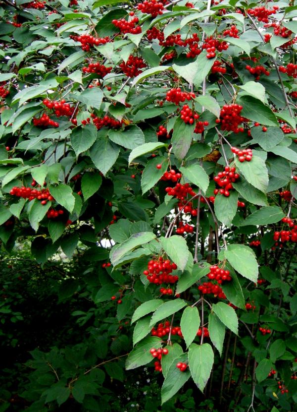 Viburnum pflanzen garten gestaltung ideen