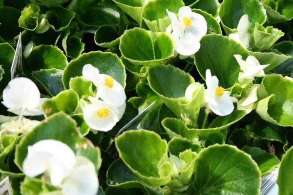 weiße begonie garten gestalten pflazen