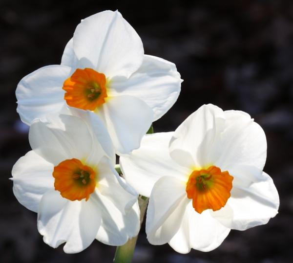 weiße narzisse frühlingsblumen deko