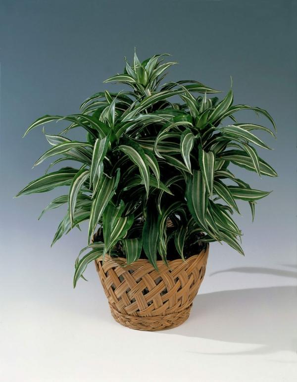 Dracaena deremensis Warneckei drachenbaum zimmerpflanze