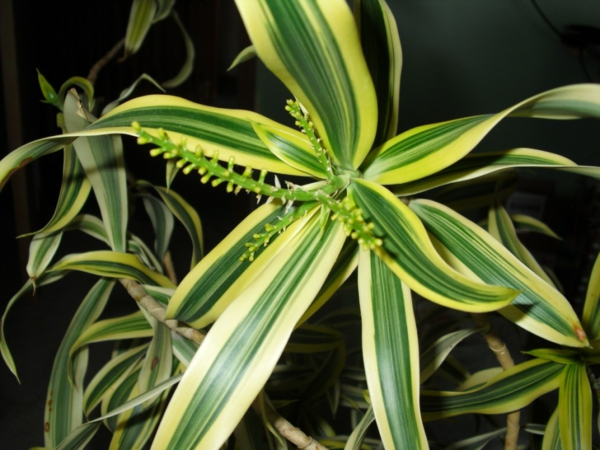 zimmerpflanzen drachenbaum Dracaena Reflexa blätter