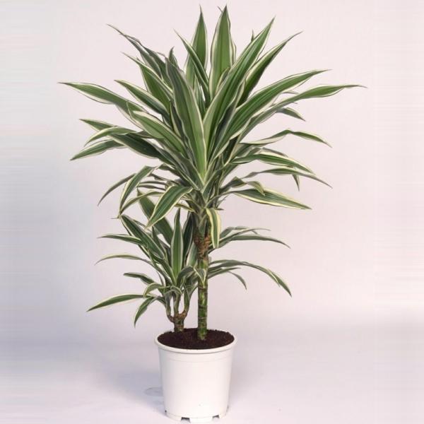 zimmerpflanzen drachenbaum Dracaena deremensis deko