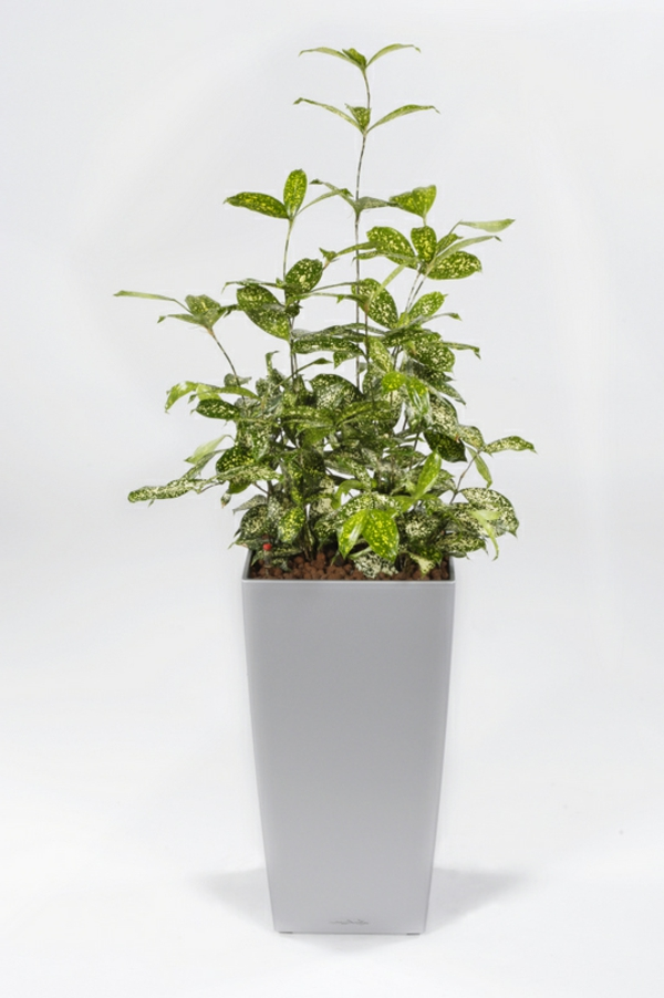 zimmerpflanzen drachenbaum arten Dracaena surculosa