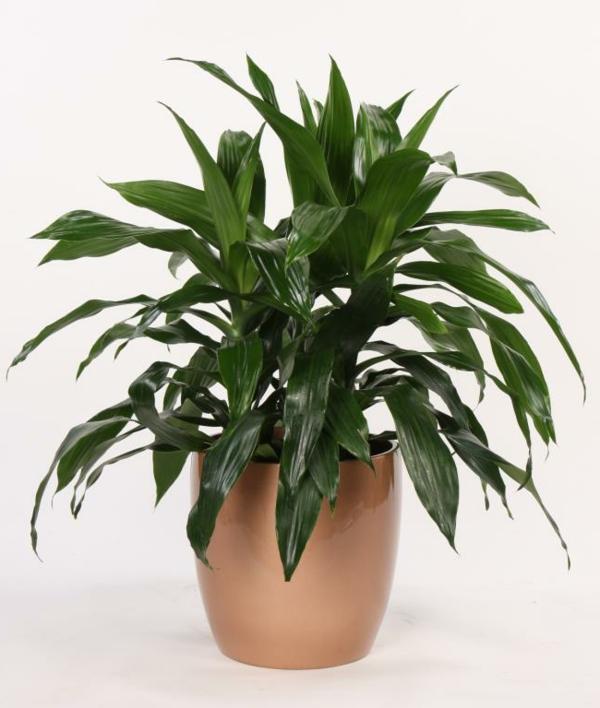 zimmerpflanzen drachenbaum hellbrauner blumentopf pflanzen