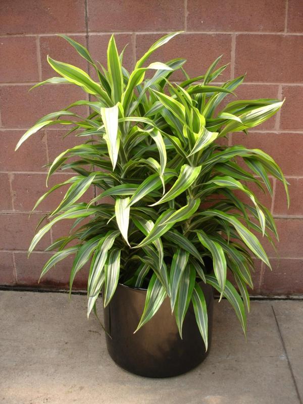 zimmerpflanzen drachenbaum schöne blätter eleganter pflanztopf