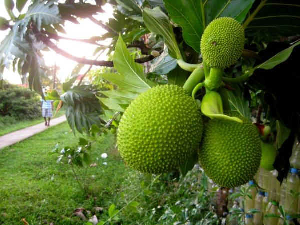 Brotfruchtbaum exotische bäume exotische früchte
