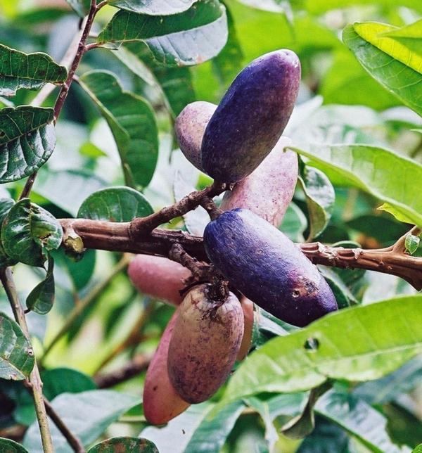 Dacryodes exotische bäume exotische früchte liste