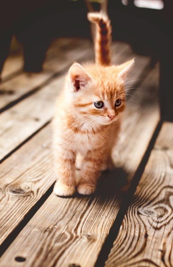 Katze Haustier holz fußboden baby katze