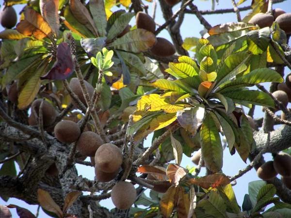 Mammea americana exotische bäume exotische früchte
