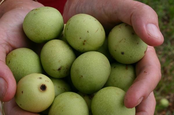 Sclerocaryabirrea exotische bäume exotische früchte liste