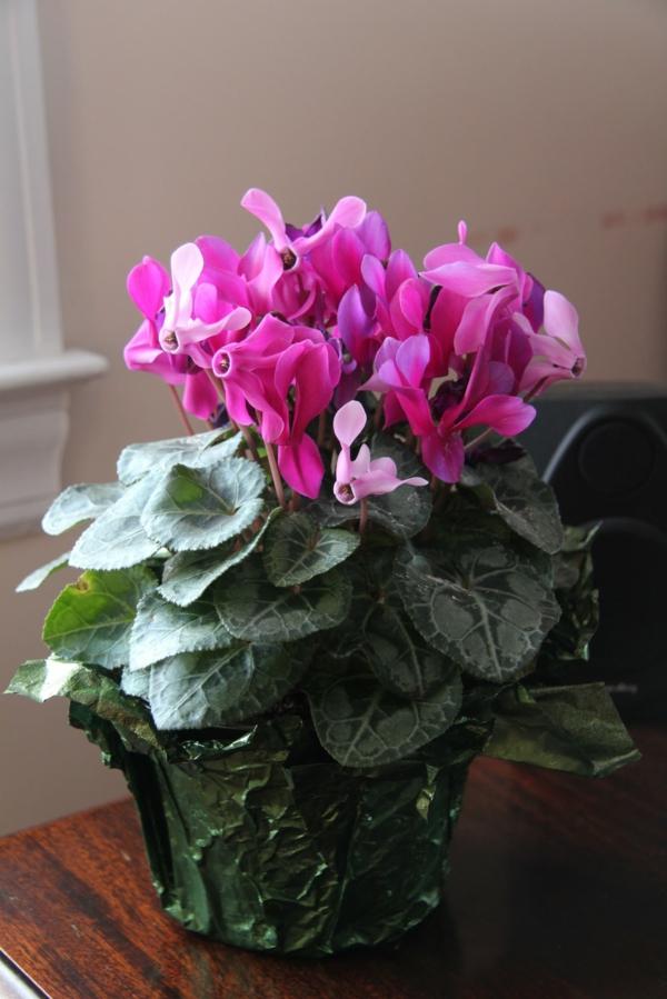 Zyklamen rosa zimmerpflanzen schöne dekoideen