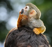 Affe als haustier eine neue exotische mode - Wandfarben arten ...