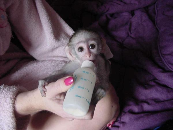 Affe Als Haustier Eine Neue Exotische Mode