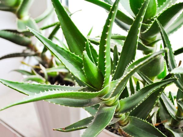 aloe zimmerpflanze schöne deko zuhause eigenschaften