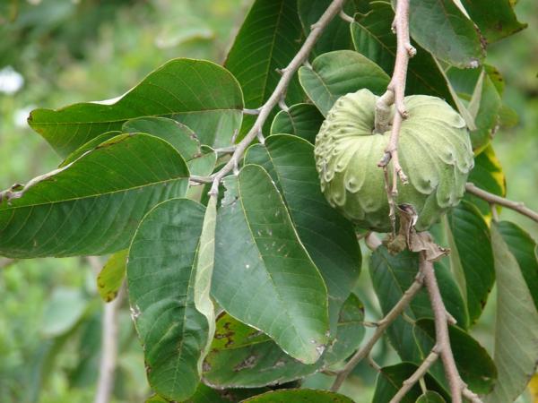 annona Cherimola exotische bäume exotische früchte liste