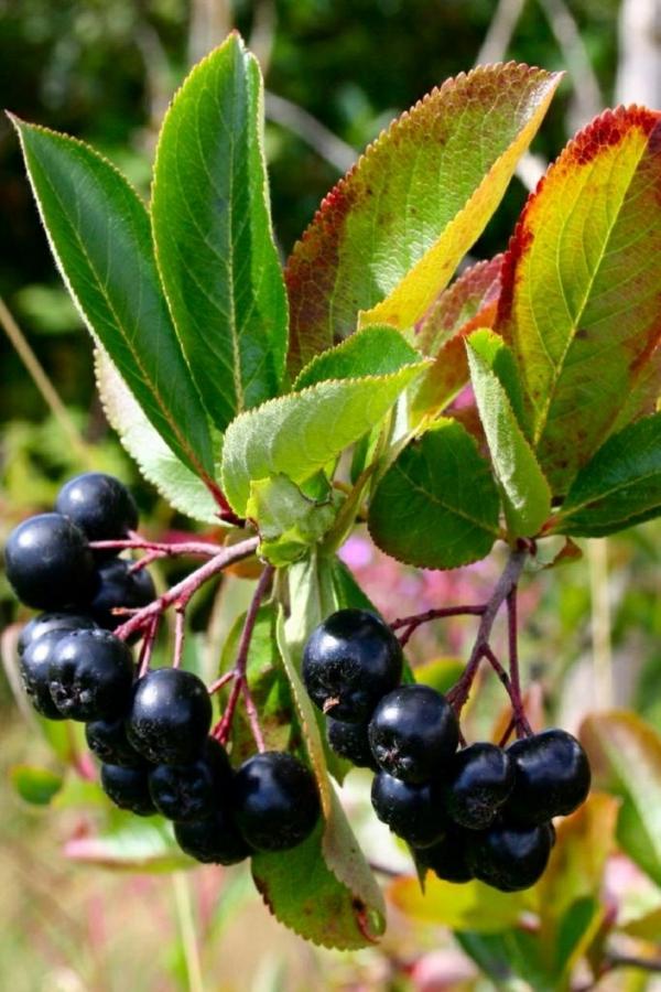 aronia wirkung busch obst und gemüse gesund leben