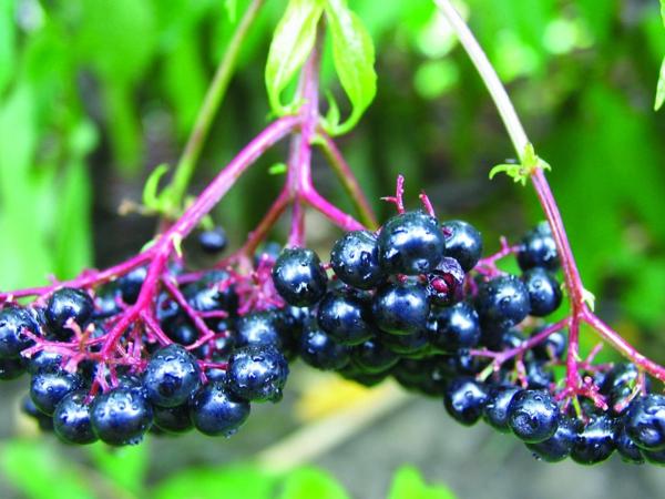 aronia wirkung obst und gemüse gesundes essen
