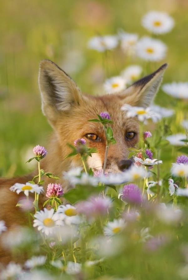 Fuchs Im Garten Fuchs Im Garten Etzen Live Fuchs Im