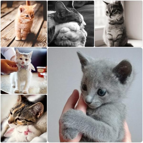 baby Katze Haustier katzenrassen Britisch Kurzhaar und andere