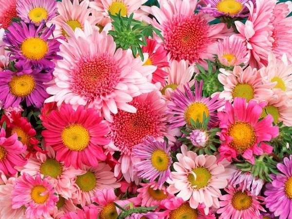 chrysantemen farbig unterschiedliche arten pflanzen