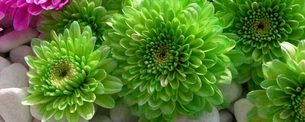 chrysantemen grün steine garten pflanzen