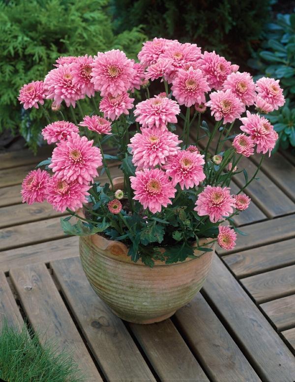 chrysantheme pflanze blumentopf rosa blüten