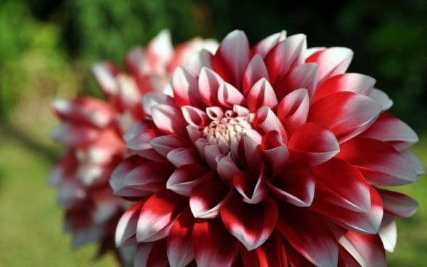 chrysantheme blüte weiß rot färbung garten pflanzen
