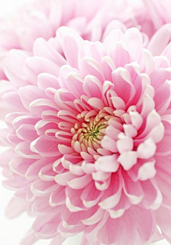 chrysantheme blume hellrosa blüte
