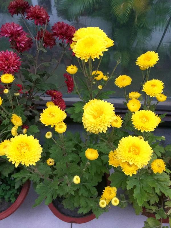 chrysantheme blumentopf gelb rot blüten arten