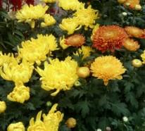 Die Chrysanthemen – ihre Schönheit entdecken und genießen