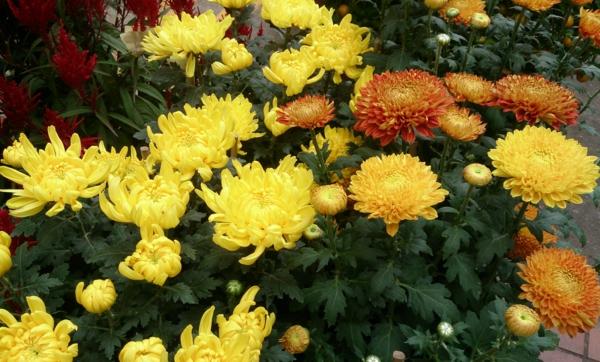 chrysantheme garten gestalten pflanzen gelb