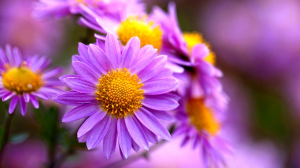 chrysanthemen lila blüten pflanzen exterieur