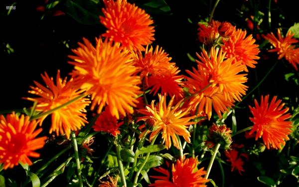 chrysantheme orange blüten garten pflanzen