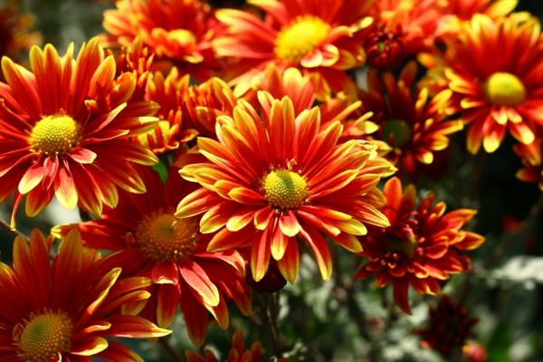 chrysantheme orange blüten exterieur gestalten