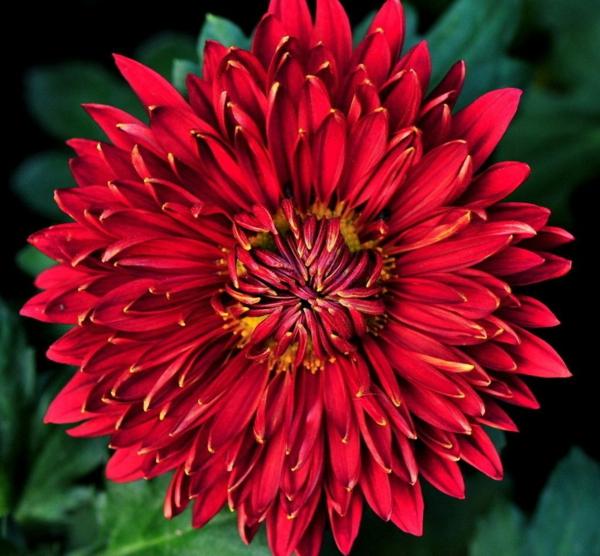 chrysantheme rote blüte garten pflanzen dekoideen