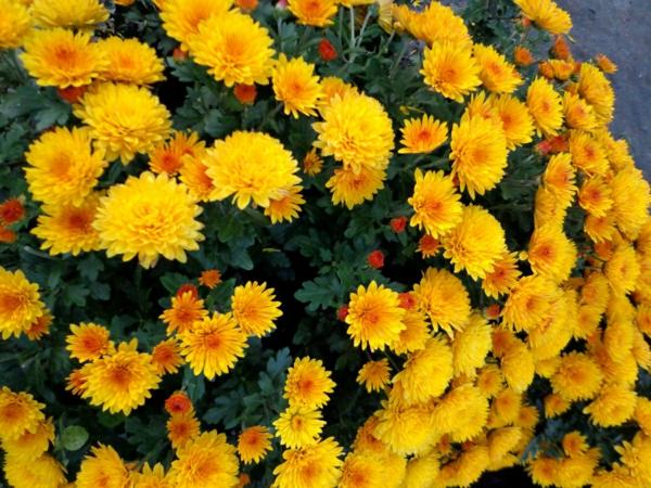chrysanthemen strauch gelb garten pflanzen