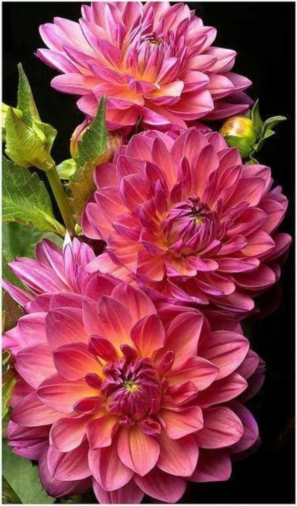 chrysanthemen blüten garten pflanzen rosa