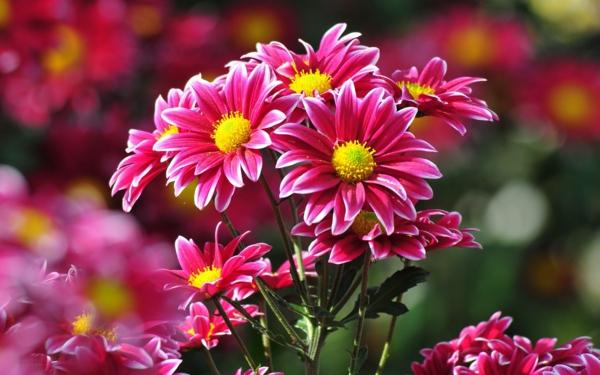 chrysanthemen blume rosa blüte garten pflanzen exterieur