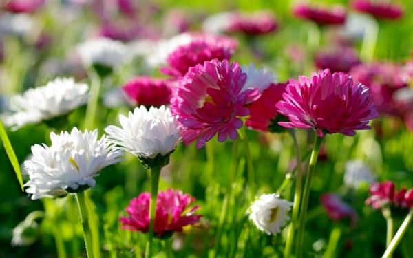 chrysanthemen farbig garten pflanzen