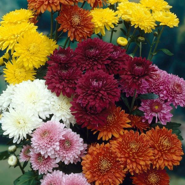 chrysanthemen farbig schön garten pflanzen