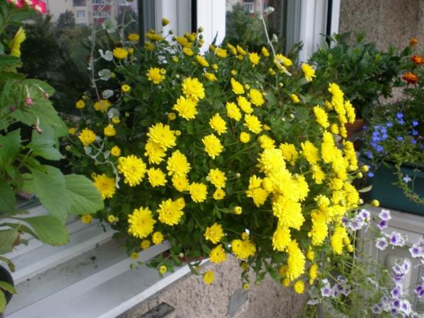 chrysanthemen gelb garten pflanzen hängekorb