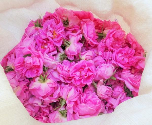 damaszener rose blüten pink
