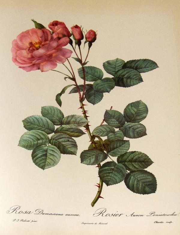damaszener rose botanische kategorie