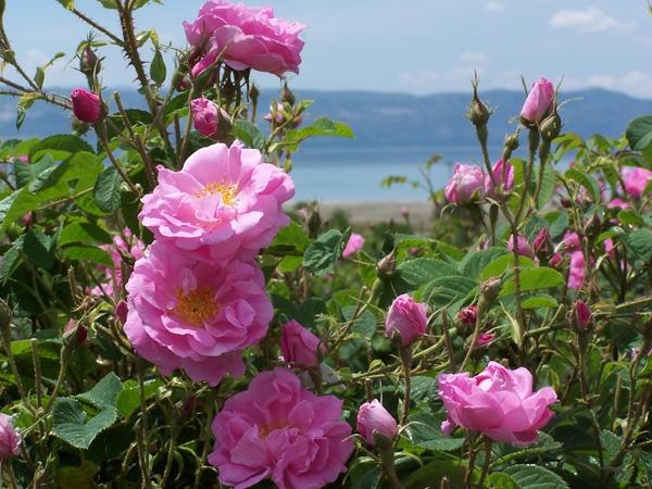 damaszener rose bulgarisch rosenöl