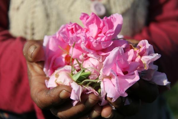 damaszener rose ernte sommer bulgarien